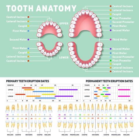 Baby teeth and adult teeth diagram
